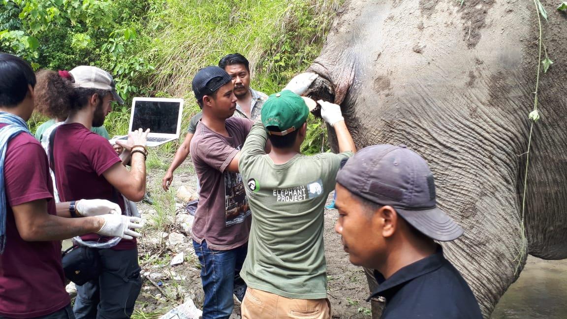 BKSDA Pasang GPS Collar pada Gajah Terluka di Gunung Biram