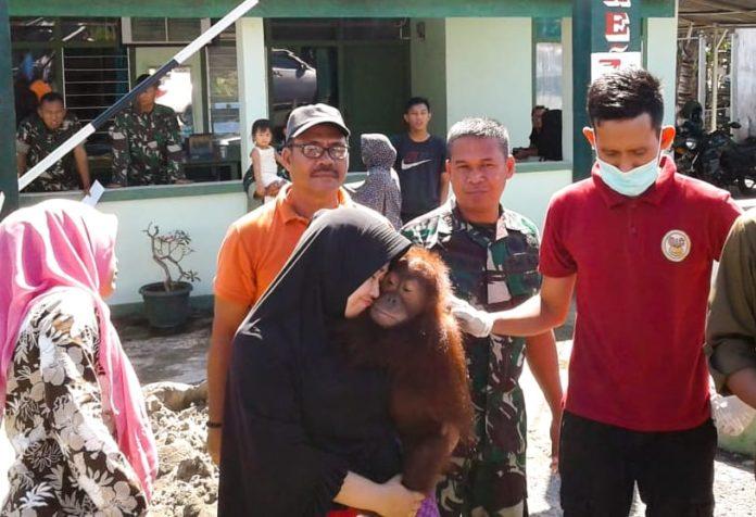 Satu Individu Orangutan Disita di Aceh Selatan