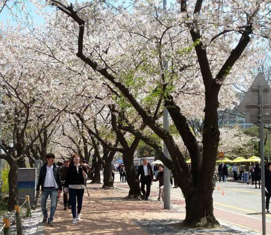 Festival Bunga Sakura di Yeouido, Korea Selatan